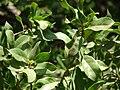 Starr 070404-6632 Conocarpus erectus.jpg