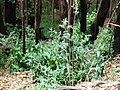 Starr 070908-9261 Eucalyptus globulus.jpg