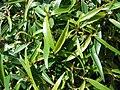 Starr 080117-1887 Ficus neriifolia var. nemoralis.jpg