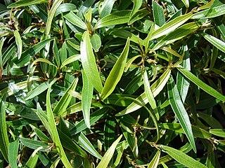 <i>Ficus neriifolia</i> species of plant