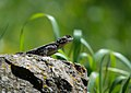 Starred Agama (Stellagama stellio), Lesvos, Greece, 14.04.2015 (17324853876).jpg