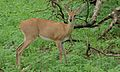 Steenbok (Raphicerus campestris) female (5997307641).jpg