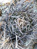 Stenocactus crispatus (5760796643).jpg