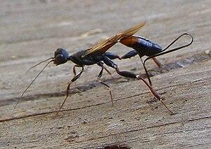 Stephanidae - Stephanus serrator