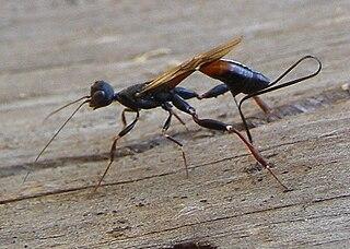 Stephanidae