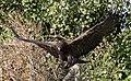 Steppe Eagle 2 (3937621395).jpg