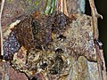 Stingless Bees Hive (Tetrigona binghami) (15779236881).jpg