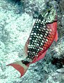 Stoplight parrotfish Pickles Reef.jpg