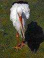 Stork لک لک 06.jpg