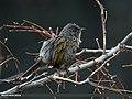 Streaked Laughingthrush (Trochalopteron lineatum) (24940987316).jpg