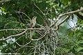 Striped Cuckoo - Darién - Panama (48444364601).jpg