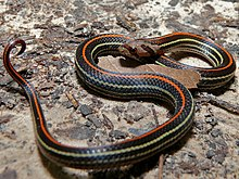 Striped Kukri Snake (Oligodon octolineatus) (6749975673).jpg