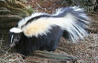 Mephitis (genus) - Image: Striped Skunk (cropped)
