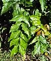 Strychnos nux-vomica 02.JPG