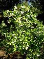 Styrax officinalis 2c.JPG