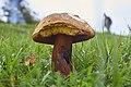Suillellus luridus (=Boletus luridus) (29820660660).jpg