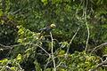 Sulawesi Hornbill - Sulawesi MG 4774 (16382507746).jpg
