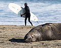 Surfer and Northern elephant seal at Drakes Beach.jpg