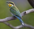 Swallow-tailed bee-eater, Merops hirundineus, at Marakele National Park, Limpopo, South Africa (23568159713) (cropped).jpg