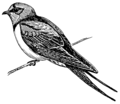 Swallow (PSF).png