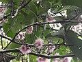 Syzygium formosum flowers.jpg