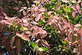 Syzygium luehmannii new growth.jpg