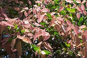 Syzygium luehmannii - Syzygium luehmannii - new growth