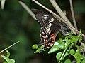 TS009 Papilio polytes female form romulus.jpg