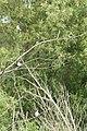 Tachycineta bicolor 3647.JPG