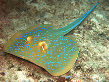 Photo of a flattened, disc-shaped fish with a greenish-yellow body covered in neon blue spots, and two neon blue stripes along the tail, lying on coral debris