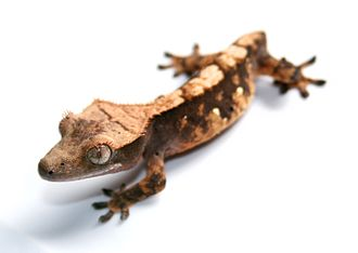 Crested gecko - A tailless New Caledonian crested gecko