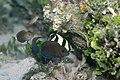 Tang & Butterfly Fish (2773708284).jpg