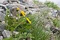 Taraxacum alpicola var. shiroumense 04.jpg