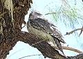 Tawny Frogmouth (Podargus strigoides) (31259091591).jpg