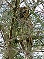 Tawny Owl (7030547677).jpg