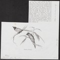 Tchitrea affinis - 1872 - Print - Iconographia Zoologica - Special Collections University of Amsterdam - UBA01 IZ16500069.tif