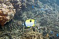 Teardrop butterflyfish Chaetodon unimaculatus (5816333261).jpg