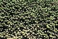 Teguise Guatiza - Jardin - Euphorbia ornithopus 03 ies.jpg