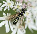 Tenthredo sp. Sawfly - Flickr - S. Rae (1).jpg