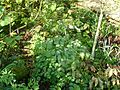 Thalictrum rochebrunianum - Flickr - peganum (2).jpg