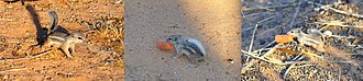 White-tailed antelope squirrel - A juvenile white-tailed antelope squirrel enters a human's property and drags its carrot prize to safety.