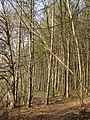 The Beeches, Betty Mundy's Bottom - geograph.org.uk - 391485.jpg