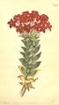 The Botanical Magazine, Plate 495 (Volume 14, 1800).png