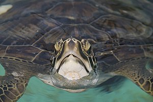 St. Vincent National Wildlife Refuge - Image: The Green Sea Turtle By Carole Robertson