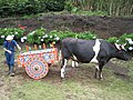 The cow pushing the decorated cart.jpg