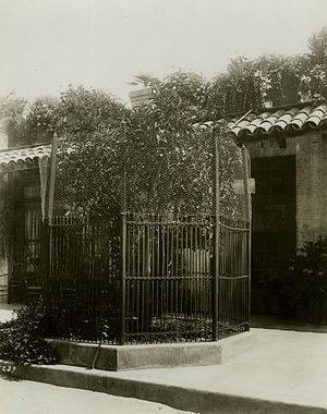 Riverside, California - The first navel orange tree in California replanted here by President Theodore Roosevelt, ca. 1910.