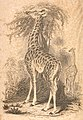 The naturalist's library; containing scientific and popular descriptions of man, quadrupeds, birds, fishes, reptiles and insects; (1850) (14564257809).jpg