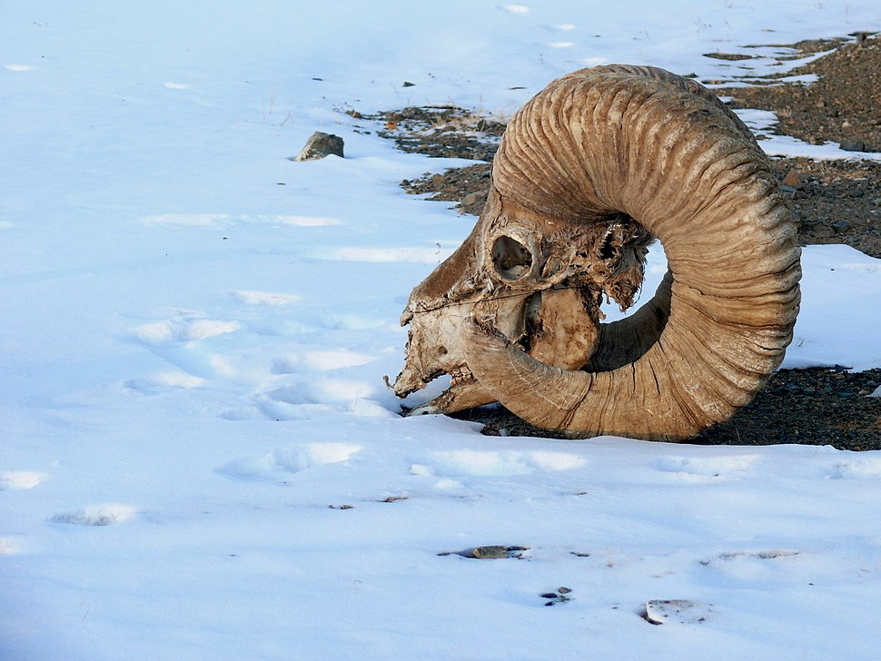 The skull and horns of an adult male Argali (Ovis ammon) 01