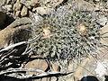 Thelocactus rinconensis (5729780366).jpg