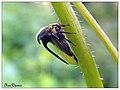 Thorn Mimic treehopper (15118412040).jpg